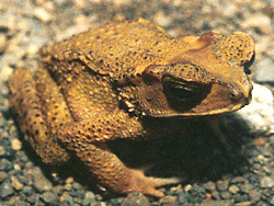 The Celebes Toad