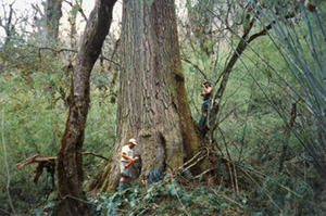 Tree ring scientists Ed Cook and Paul Krusic trekked for nearly two weeks to reach this 1,000 year old hemlock in the Himalayas of Nepal.