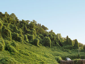 Kudzu now carpets large parts of the American South.