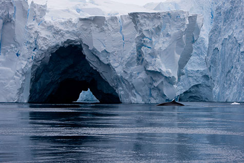 Upwelling seawater along parts of Pine Island Glacier Ice Shelf has carved out caves in the ice and drawn wildlife like this whale. Credit: Maria Stenzel, all rights reserved.