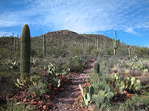 A delayed monsoon could affect vegetation across the Sonoran desert, including saguaro cactuses. (Jeremy Weiss)