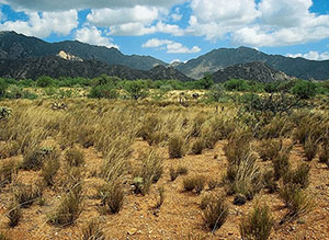 Rainfed grasses are a source of food for cattle. (U.S. Forest Service)