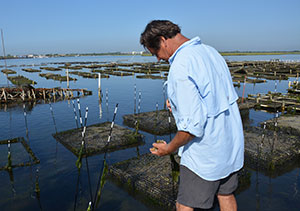 Brown tide stunts oyster growth, requiring more time to bring oysters to market size--a major obstacle for oyster farmers like Chuck Westfall trying to make a living in Great South Bay. (Rebecca Fowler)
