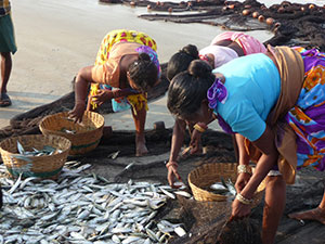 The Arabian Sea fishery may already be in decline. In Goa, India, women sort through the morning catch. (Joaquim Goes)