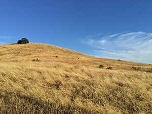 Dry grassland and oak landscape of central California's Coastal Mountain Range, among the parts of the state most affected by the current drought. Photo taken August 2015. (Dominick McPeake)