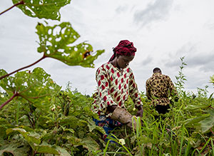 Many crops may suffer damage from heat and water stress as the world warms. But a new study suggests that the carbon dioxide causing the warming could also have a fertilizing effect, and could help mitigate some of the ruin. Here, farmers harvest okra in the village of Loulouni, Mali. (Francesco Fiondella/IRI)